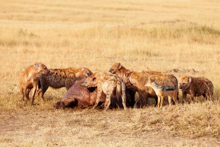 hienas: Las hienas comer presa, Masai Mara Foto de archivo