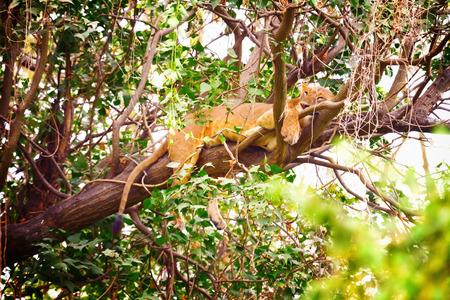 nakuru: Sleeping lion on a tree in Nakuru Park