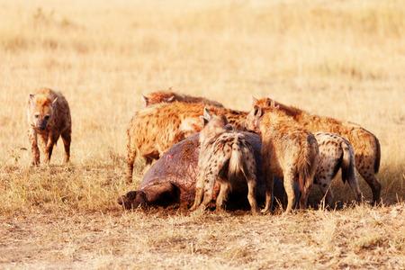 hienas: Las hienas comer una rogación, Masai Mara