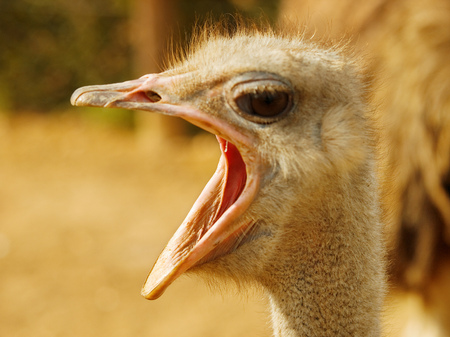 Ostrich with open beak close up Stock Photo