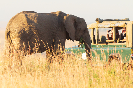 masai mara: Masai Mara, Kenya - February 14, 2012 : Tourists shooting a close up of an elephant from their safari jeep in Masai Mara national reserve