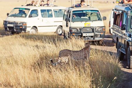 masai mara: Masai Mara, Kenya - February 19, 2012 : Tourists shooting a close up of a cheetah from their safari jeeps in Masai Mara national reserve