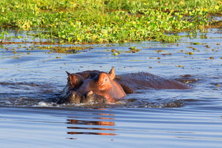 lake naivasha: Hippopotamus showing over the waters of Lake Naivasha, Kenya