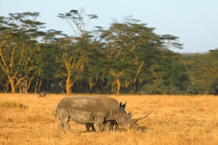 nakuru: White rhino in Nakuru Park, Kenya during the dry season Stock Photo