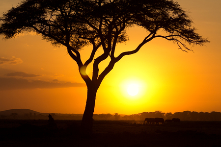 masai mara: Typical african sunset with acacia trees in Masai Mara, Kenya. Elephant silhouettes in front of the sun.