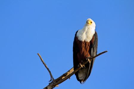 naivasha: Fish Eagle staying on a tree in Naivasha Lake, Kenya. Horizontal shot