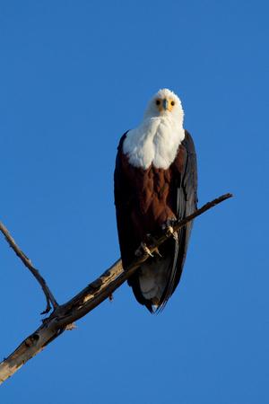 naivasha: Fish Eagle staying on a tree in Naivasha Lake, Kenya. Vertical shot