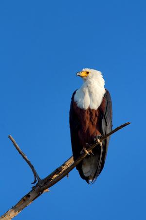 naivasha: Fish Eagle staying on a tree in Naivasha Lake, Kenya. Vertical shot, side view.