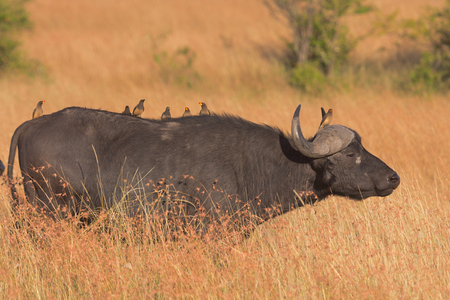 oxpecker: Close up of oxpeckers on the back of a buffalo. Full length view.