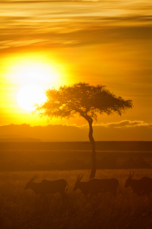 african wildebeest: Typical african sunset with acacia trees in Masai Mara, Kenya.