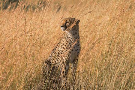 masai mara: Male cheetah walking in grass and looking for pray in Masai Mara, Kenya.Looking left.