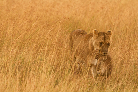 masai mara: Female lion carrying a cub in Masai Mara, Kenya Stock Photo