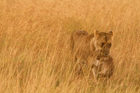 masai mara: Female lion carrying a cub in Masai Mara, Kenya Stock Photo
