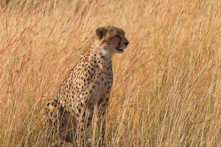 masai mara: Male cheetah walking in grass and looking for pray in Masai Mara, Kenya. Looking right.