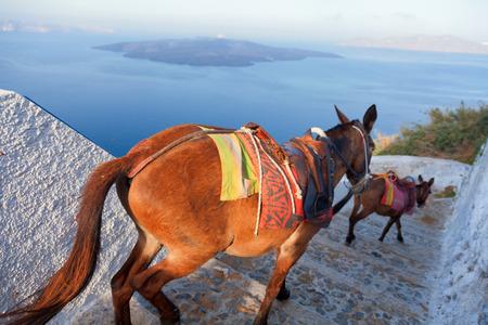 fira: Donkeys going down the steps in Fira, Santorini