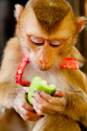 macaque: Small pet macaque monkey eating a cucumber. Looking down Stock Photo