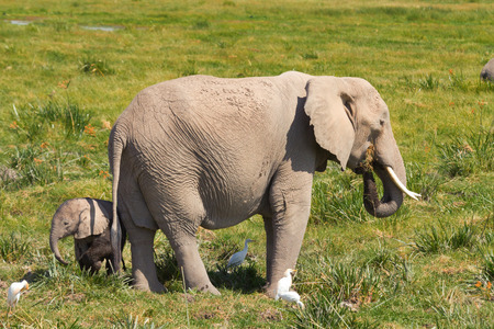 amboseli: Mother and her baby elephants on a grass field. Shot at Amboseli national park, Kenya Stock Photo