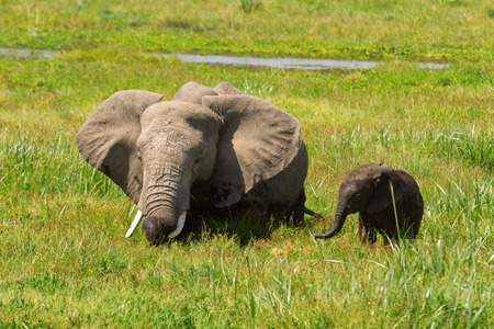 amboseli: Mother and her baby elephants in a pond. Shot at Amboseli national park, Kenya