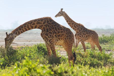 Two giraffes wallking in the grass in Amboseli, Kenya