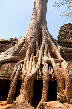 ta: Ta prohm temple covered in tree roots, Angkor Wat, Cambodia Stock Photo