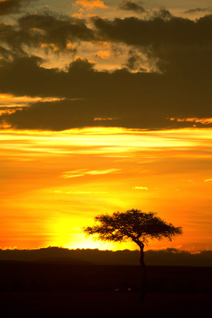 masai mara: Typical african sunset with acacia trees in Masai Mara, Kenya. Vertical shot