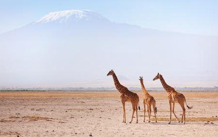 Three giraffes in front of Kilimanjaro at the background shot at Amboseli national park, Kenya. Horizontal shot Standard-Bild