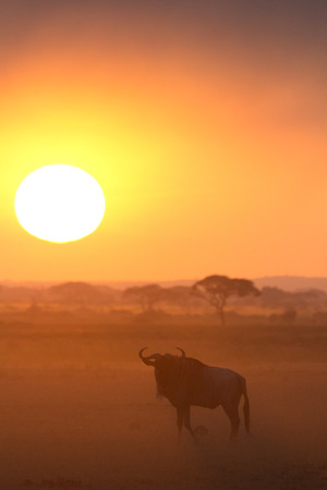 amboseli: Sunset in Amboseli, Kenya. Silhouettes of gnu walking in front of the sun. Vertical shot
