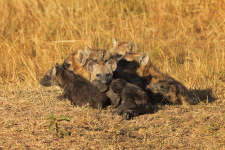 masai mara: Babies spotted hyena cubs just come out from their hole early in the morning, sleeping on over another, Masai Mara Stock Photo