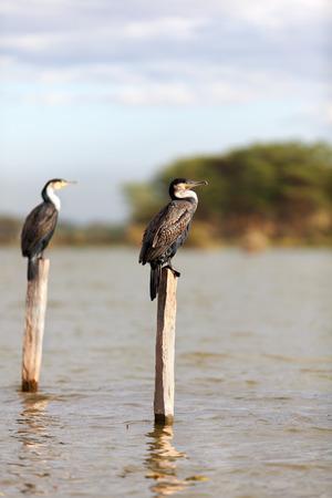 naivasha: Cormorants on a tree near Naivasha Lake, Kenya. Vertical shot Stock Photo
