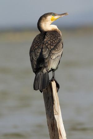 naivasha: Cormorant portrait on a tree near Naivasha Lake, Kenya Stock Photo