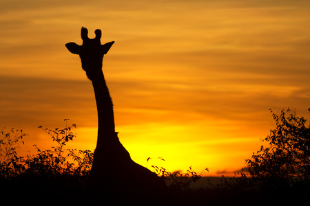 giraffe silhouette: Typical african sunset with acacia trees and giraffe silhouette in Masai Mara, Kenya