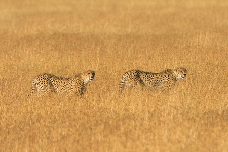 cheetahs: Two male cheetahs walking in grass and looking for its pray in Masai Mara, Kenya