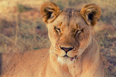 portait: Portait of old lioness lying in grass in Masai Mara, Kenya