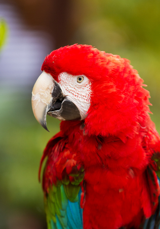 Red head Scarlet macaw parrot. Close up portrait Stock Photo