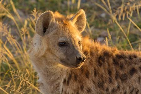masai: Young hyena just come out from their hole in the early morning, Masai Mara