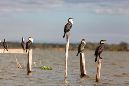 naivasha: Group of cormorants on a tree near Naivasha Lake, Kenya. Horizontal shot