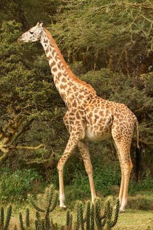naivasha: Giraffe among the trees in Naivasha National Park, Kenya. Side view. Stock Photo