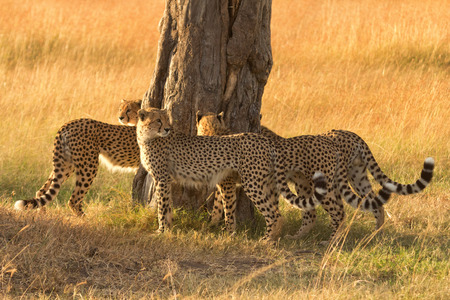 cheetahs: Group of male cheetahs marking a tree in Masai Mara, Kenya.