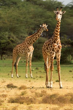 naivasha: Two giraffes among the trees in Naivasha National Park, Kenya.
