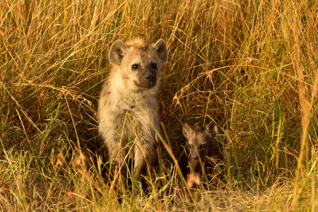 hienas: Bebé hienas manchadas acaba de salir de su agujero, Masai Mara, Kenia. tiro horizontal