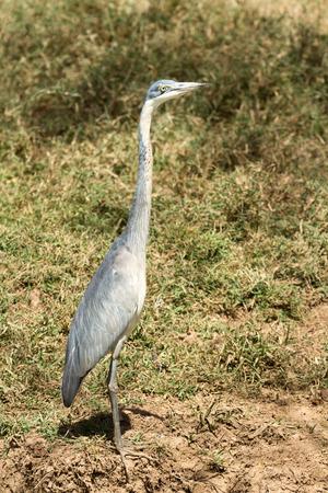 gray herons: Grey heron in Amboseli national park, Kenya Stock Photo