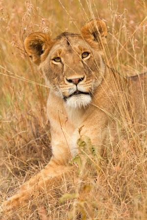 Female lion sitting in the grass in Masai Mara, Kenya. Vertical shot, looking up