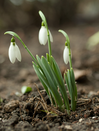 Cluster of snowdrops close up