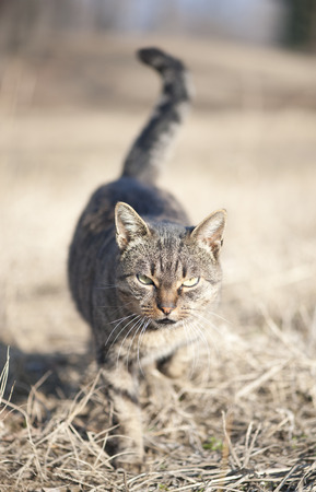 sneaking: Domestic cat sneaking Stock Photo