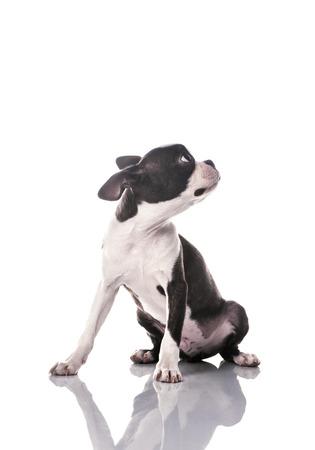 looking around: Boston terrier looking around Stock Photo