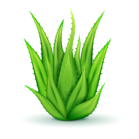thorns: Realistic aloe vera leaves of different size with thorns on white background isolated vector illustration Illustration