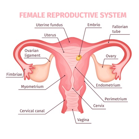 女性の生殖システムの科学的なテンプレート  イラスト・ベクター素材