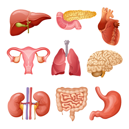 Órganos humanos de dibujos animados conjunto con corazón de páncreas del hígado sistema reproductivo femenino riñones cerebro pulmones intestino de estómago aislado ilustración vectorial