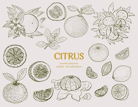 Handgezeichnete Citrus Botanical Set Standard-Bild - 77494621