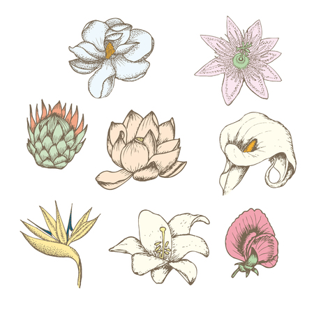 Colored drawing botanical exotic flowers set with protea magnolia passiflora lathyrus strelitzia calla white lily isolated vector illustration Illustration